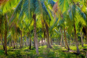 CoconutPlantation